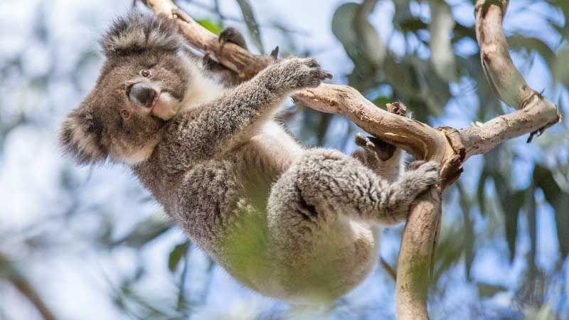 Koala.