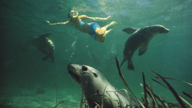 Svøm med sjøløver i South Australia.