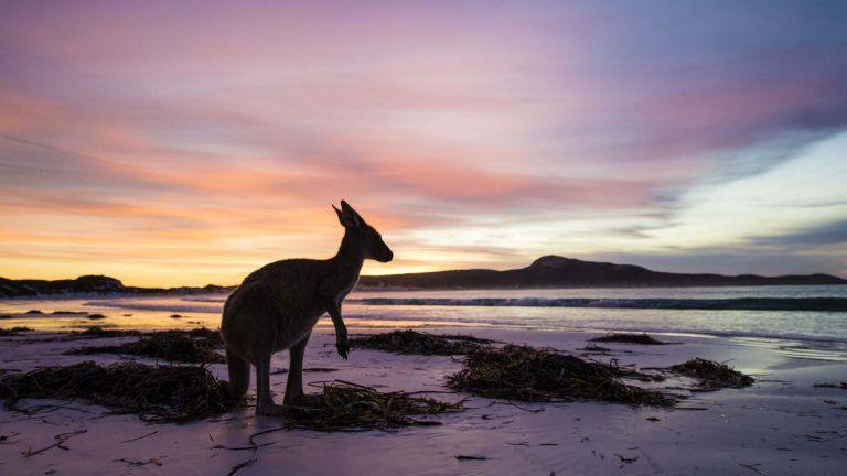 Kanguru i Lucky Bay.
