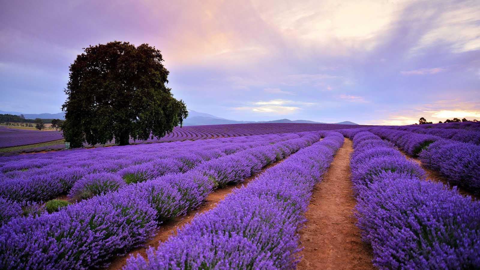 Lavender Estate på Tasmania.