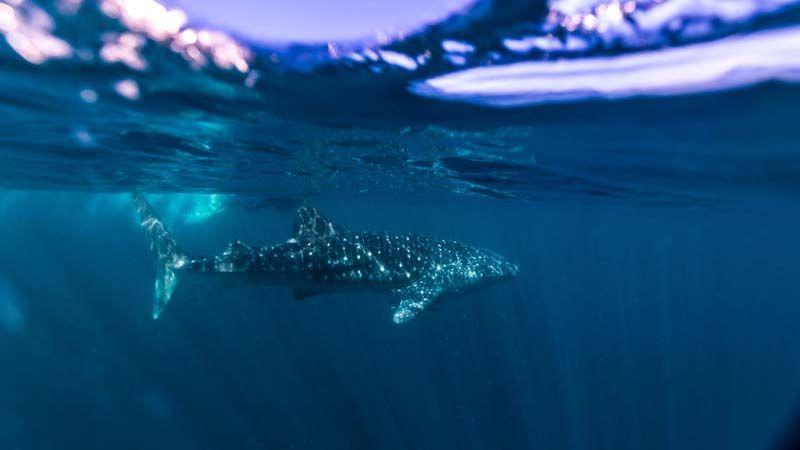 Hvalhai på Ningaloo Reef.