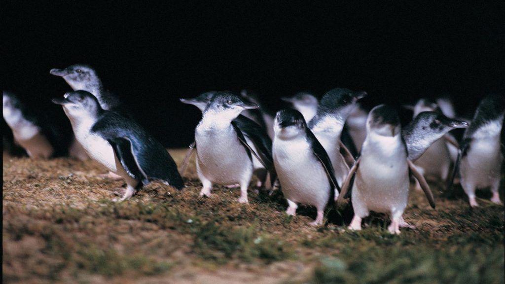 Pingviner på Phillip Island.
