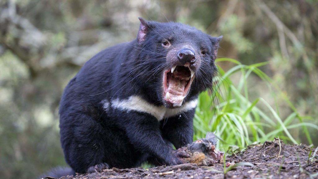 Tasmanian Devil (tasmansk djevel).