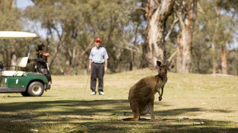 Kenguru på golfbane.